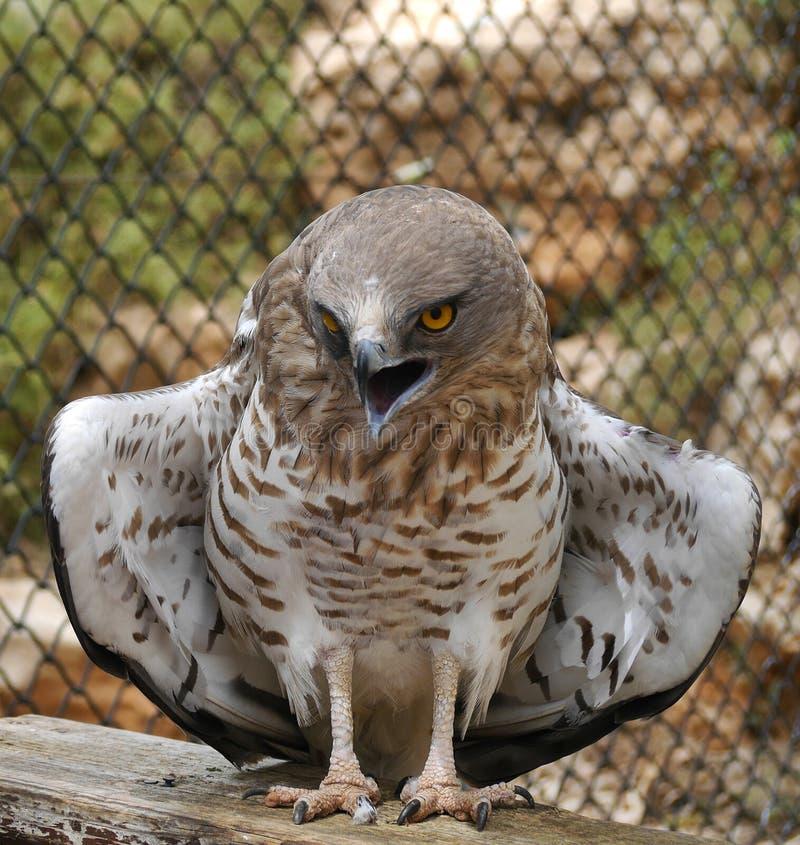 Il serpente Breve piantato Eagle spande le sue ali immagine stock libera da diritti