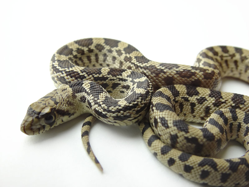 Il serpente di Bull egualmente ha chiamato Gopher   immagine stock libera da diritti