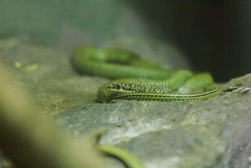 Il serpente dorato dell'albero ? sulla terra immagini stock libere da diritti