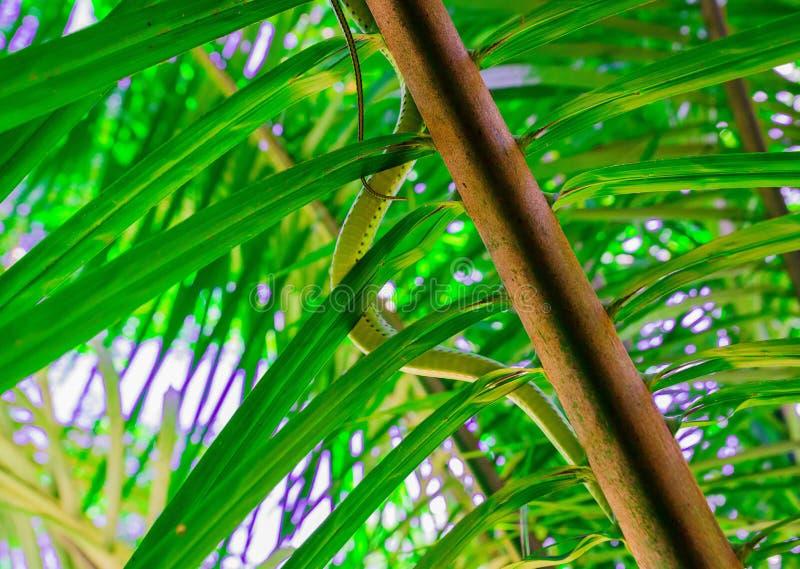 Il serpente dorato dell'albero immagine stock libera da diritti