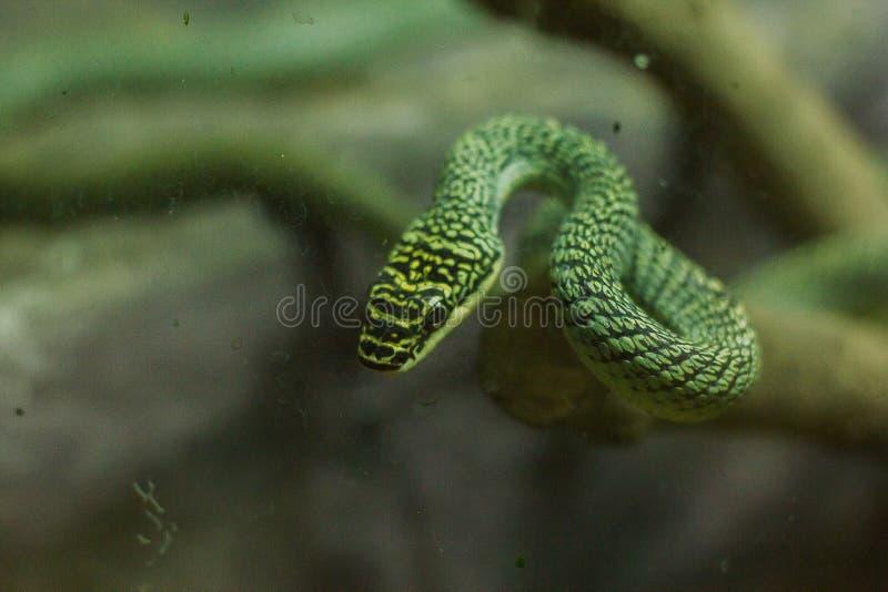 Il serpente dorato dell'albero ? sulla terra fotografia stock libera da diritti