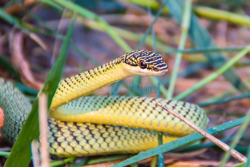 Il serpente dorato sveglio dell'albero (ornata di Chrysopelea) sta strisciando su erba stipata di Il ornata di Chrysopelea inoltr immagini stock libere da diritti