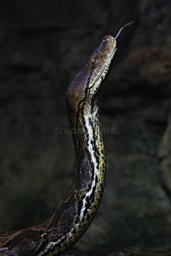 Il serpente esotico maestoso cattura dettagliatamente con un'area rocciosa immagini stock libere da diritti