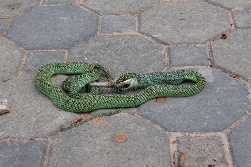 Il serpente mangia una lucertola fotografie stock