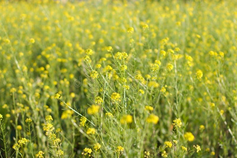 Il settore è coperto di fiori gialli fotografia stock libera da diritti