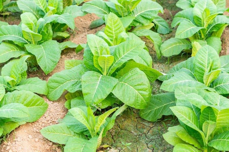 Il settore del tabacco in thailandia e la pianta delle sigarette fotografia stock