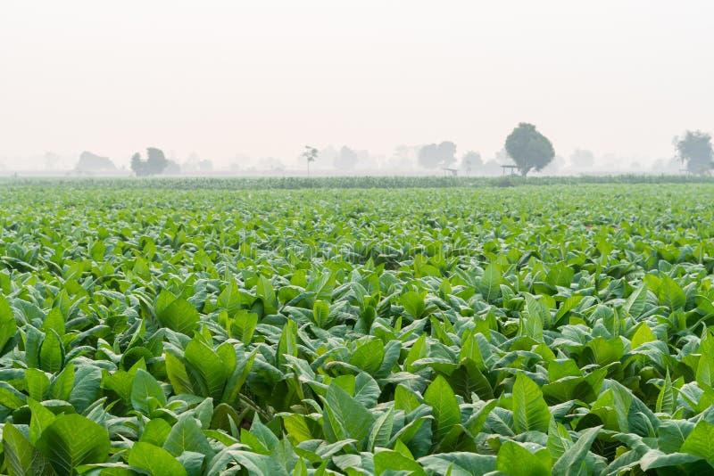 Il settore del tabacco in thailandia e la pianta delle sigarette fotografia stock libera da diritti