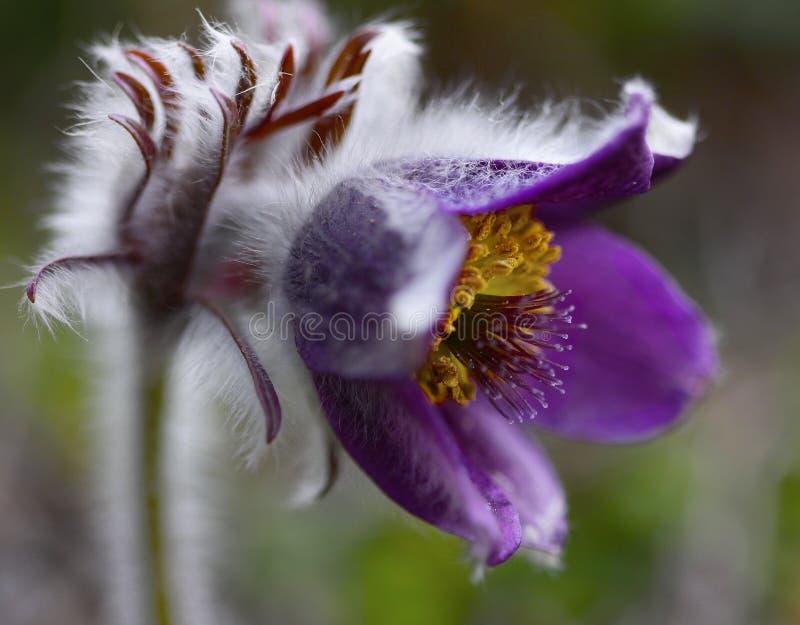 Il simbolo raro Montana della natura del Pulsatilla del fiore della primavera pianta la bellezza del primo piano fotografie stock libere da diritti