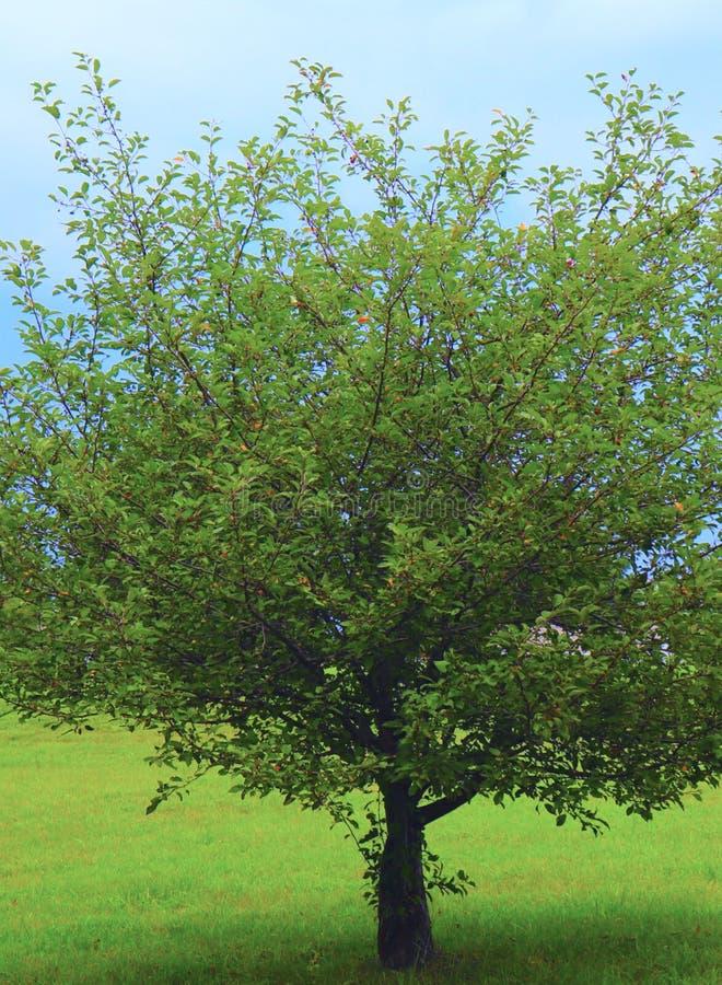 Il singolo albero è ossequio visivo, soddisfacente estetico con la sua B ben fatto? ranch, foglie e tronco fotografie stock libere da diritti