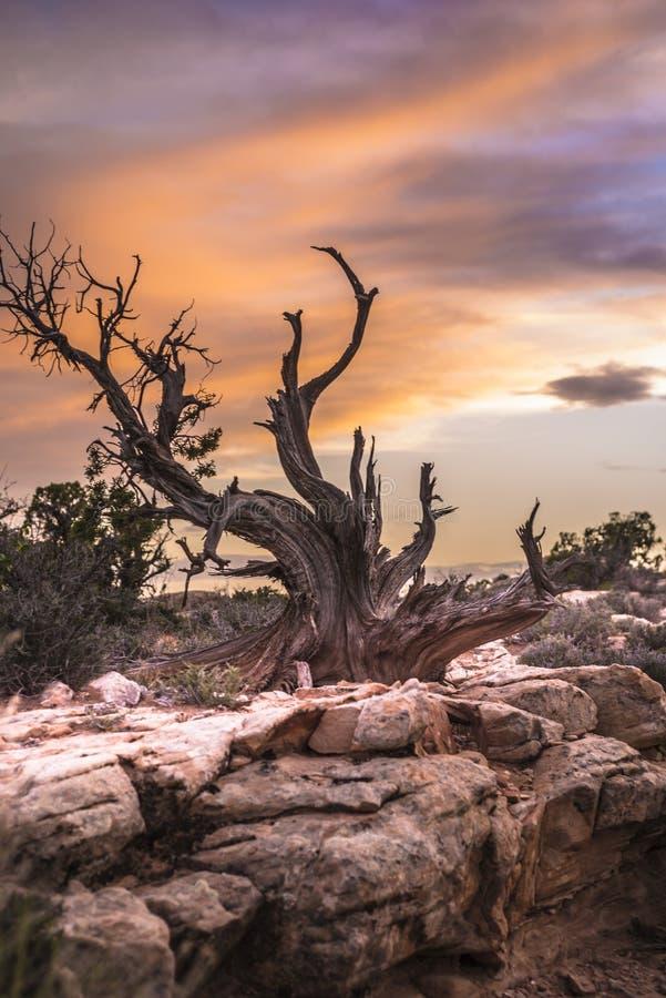 Il singolo albero contro il cielo del tramonto incurva il parco nazionale immagini stock