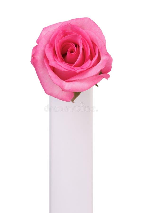 Il singolo colore rosa è aumentato fotografie stock libere da diritti
