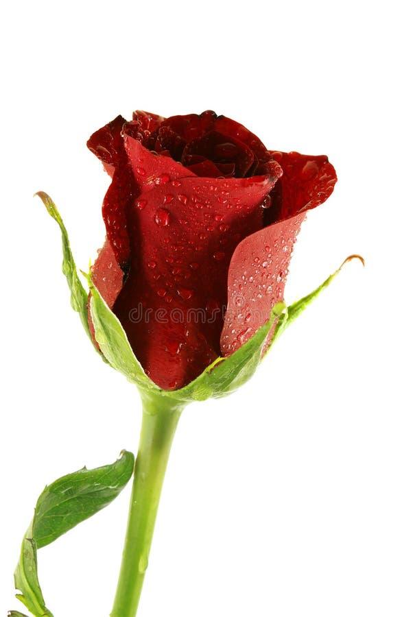 Il singolo colore rosso del beautifel è aumentato con le goccioline immagini stock libere da diritti