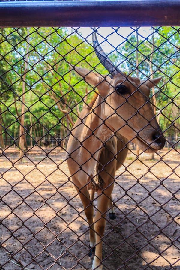 Il singolo corno dal difetto genetico o dall'incidente dell'eland comune, anche conosciuto come l'eland o l'antilope del sud di e immagine stock