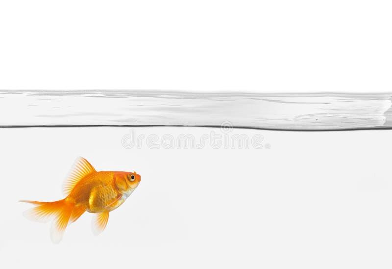 Il singolo goldfish in acqua ha isolato immagini stock libere da diritti