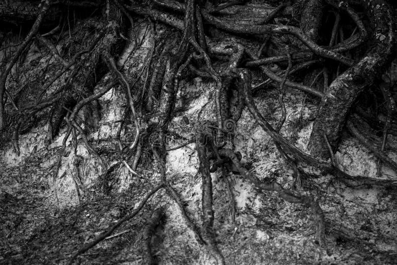 Il sistema della radice degli alberi fotografie stock libere da diritti