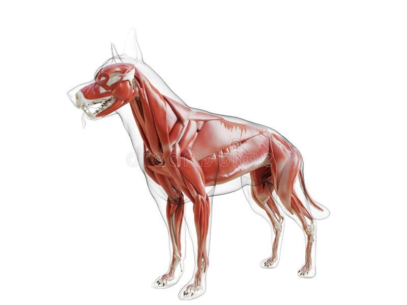 Il sistema di muscolo dei cani illustrazione di stock