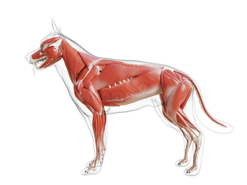 Il sistema di muscolo dei cani royalty illustrazione gratis