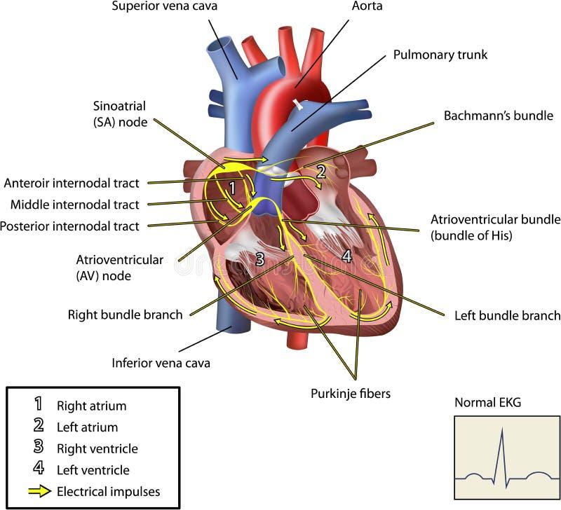 Il sistema elettrico del cuore. illustrazione di stock