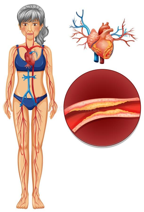 Il sistema vascolare umano illustrazione di stock