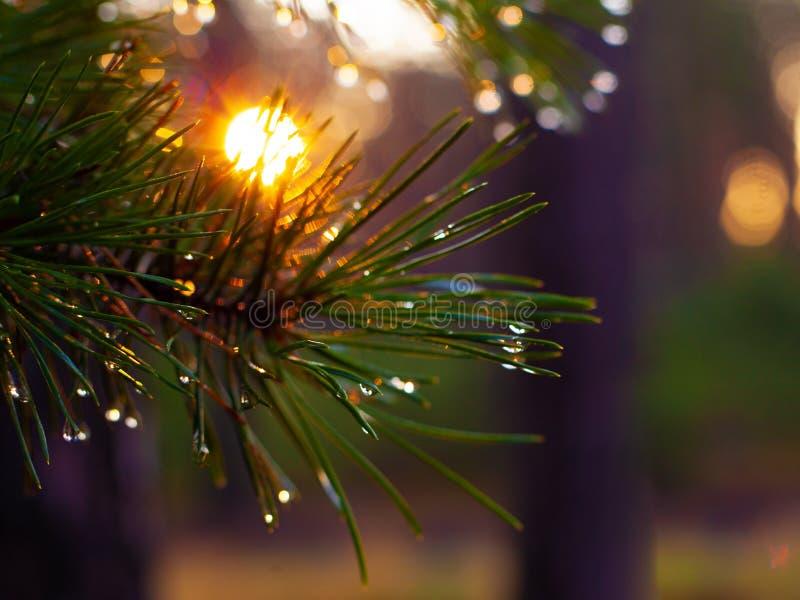 Il sole caldo di mattina splende attraverso gli aghi del pino con le gocce della natura della foresta della rugiada immagine stock