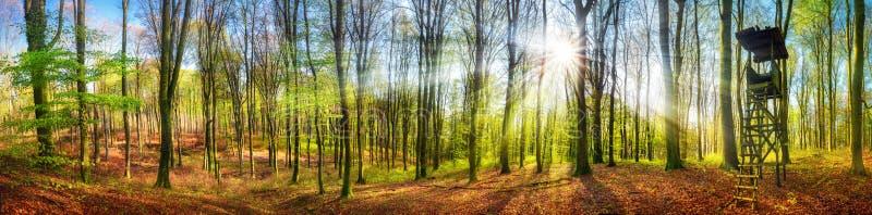 Il sole che splende in una foresta alla primavera, ampio panorama fotografia stock libera da diritti