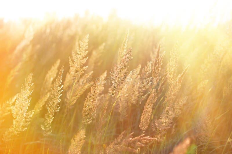 Il sole di mattina rays nell'alta erba fotografia stock