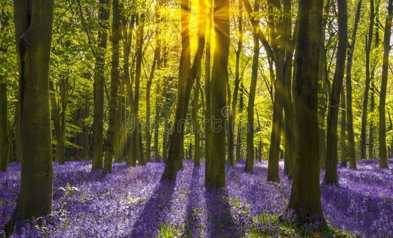 Il sole scorre attraverso gli alberi di faggio in legno di campanula di Oxford fotografie stock libere da diritti