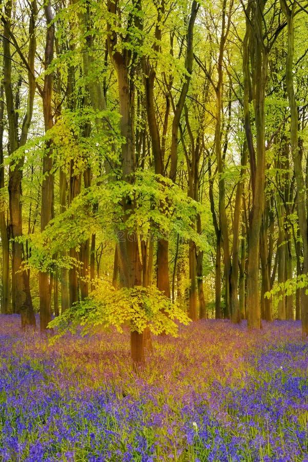 Il sole scorre attraverso gli alberi di faggio in legno di campanula di Oxford fotografie stock