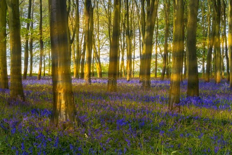 Il sole scorre attraverso gli alberi di faggio in legno di campanula di Oxford fotografia stock