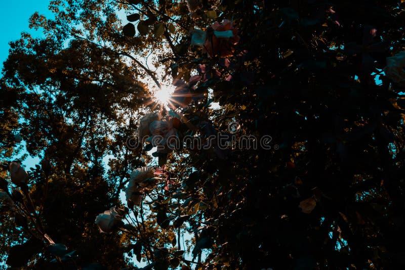 Il sole splende con la lacuna nell'albero immagini stock