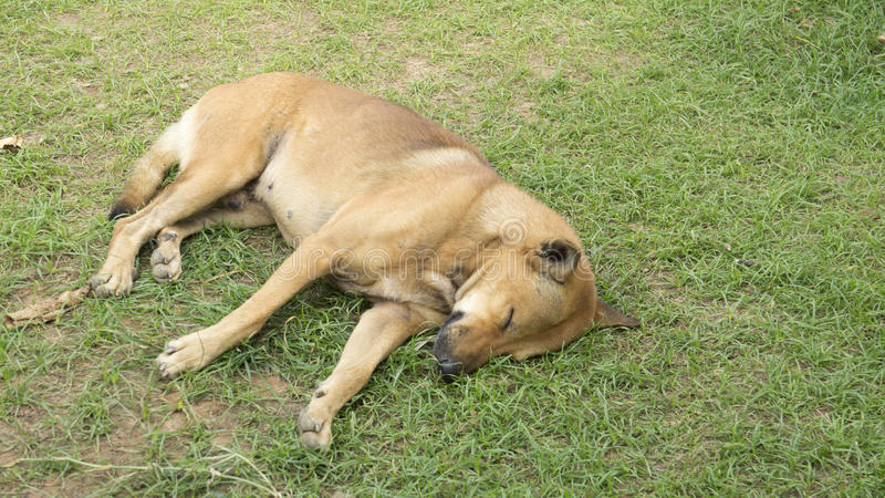 Il sonno dell'animale domestico del cane pigro indica il canino si siede il concetto fotografia stock libera da diritti