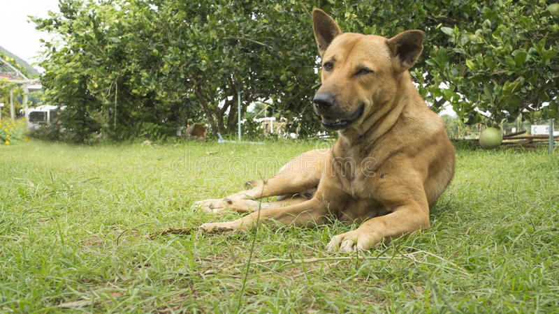 Il sonno dell'animale domestico del cane pigro indica il canino si siede il concetto fotografia stock