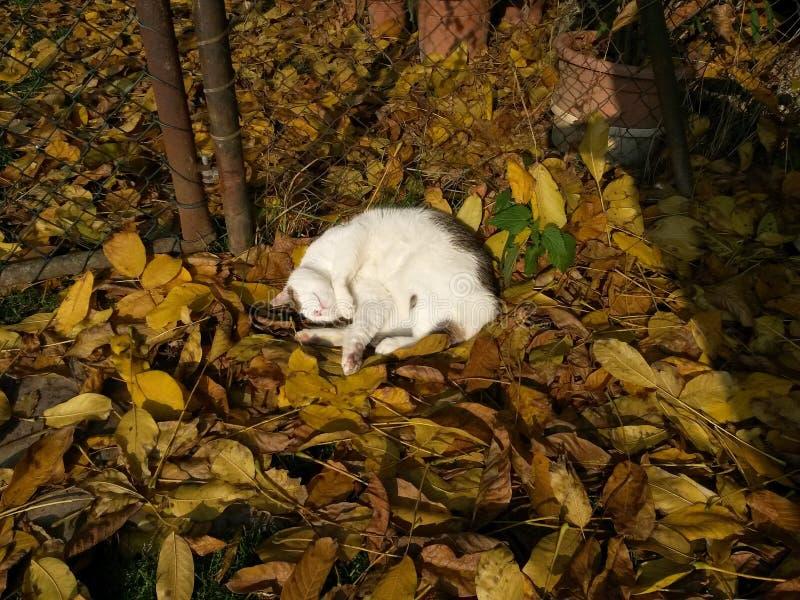 Il soriano bianco del gatto dorme all'aperto sul sole, sulla terra in foglie fotografia stock