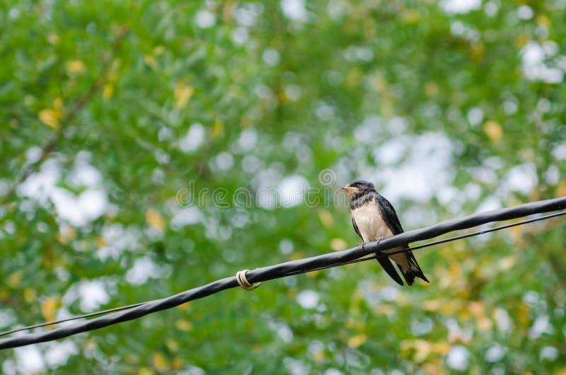 Il sorso del pulcino sta sedendosi sul cavo contro lo sfondo delle foglie verdi fotografia stock libera da diritti