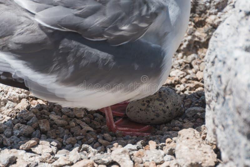 Il sorso ha munito il gabbiano di coda con il suo uovo sulla plaza del sud, isola di Galapagos, Ecuador, Sudamerica fotografia stock libera da diritti