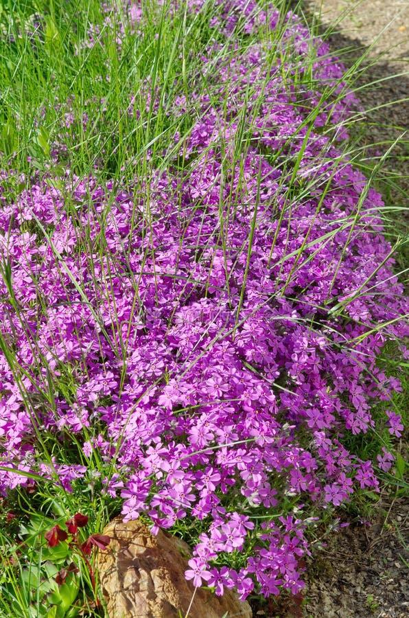 Il subulate del flox dei fiori sta fiorendo nel giardino immagine stock libera da diritti