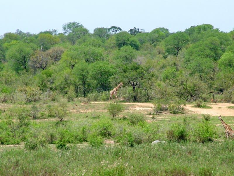 Il Sudafrica - 7 novembre 2011: Giraffa sul safari dell'azionamento del gioco di mattina al parco nazionale di Kruger fotografie stock libere da diritti