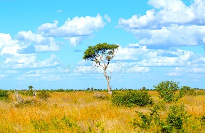 Il Sudafrica Savannah Scenic, ombrellifera con cielo blu nuvoloso fotografia stock libera da diritti