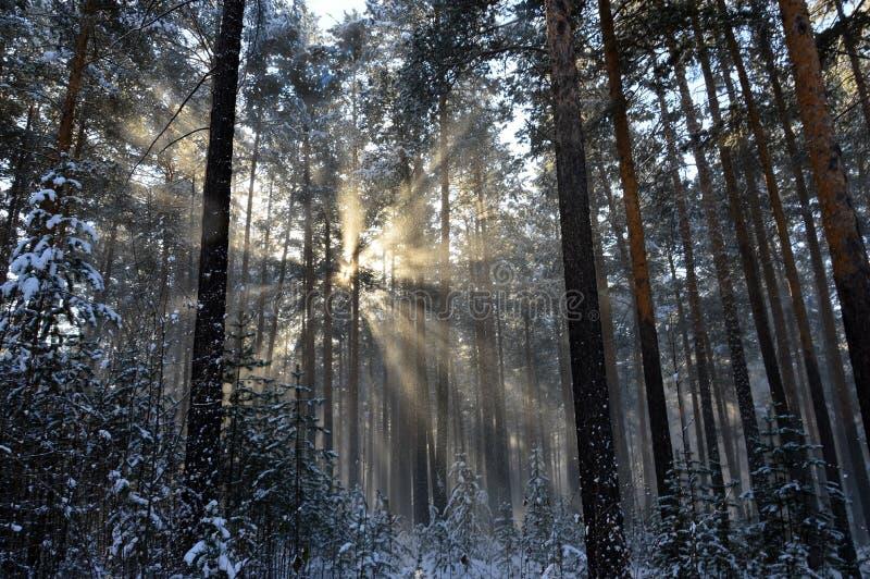 Il Sun della polvere della neve rays splendendo con la caduta dagli alberi la neve Nella foresta di inverno fotografie stock libere da diritti