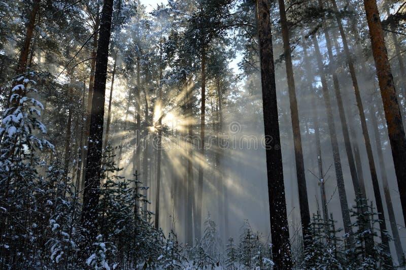 Il Sun della polvere della neve rays splendendo con la caduta dagli alberi la neve Nella foresta di inverno fotografia stock