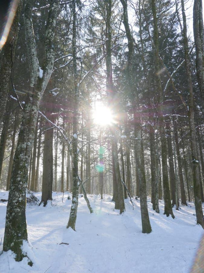 Il Sun splende attraverso la foresta dell'inverno immagini stock libere da diritti