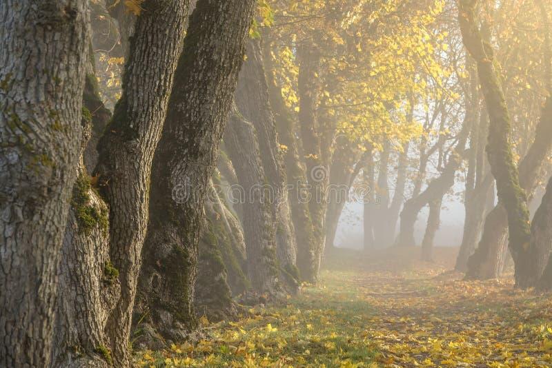 Il Sun splende attraverso nebbia spessa e gli alberi nel primo mattino Foresta fotografia stock