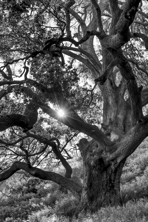 Il Sun splende tramite la quercia fertile in bianco e nero immagine stock libera da diritti