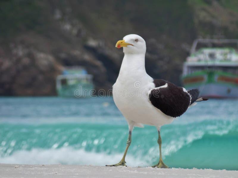 Il supporto sulla sabbia, Prainhas del gabbiano fa la spiaggia di Pontal, Arraial fa Cabo immagini stock libere da diritti