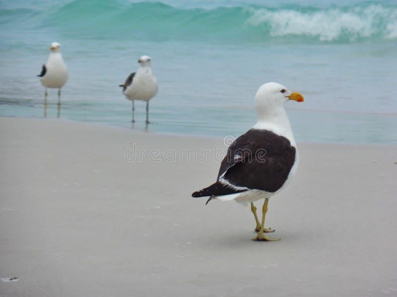 Il supporto sulla sabbia, Prainhas del gabbiano fa la spiaggia di Pontal, Arraial fa Cabo immagine stock libera da diritti