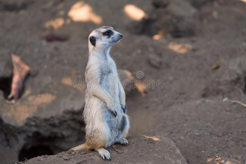 Il Suricata di Meerkat sta vicino alla sua tana allo zoo di San Diego nella California fotografia stock