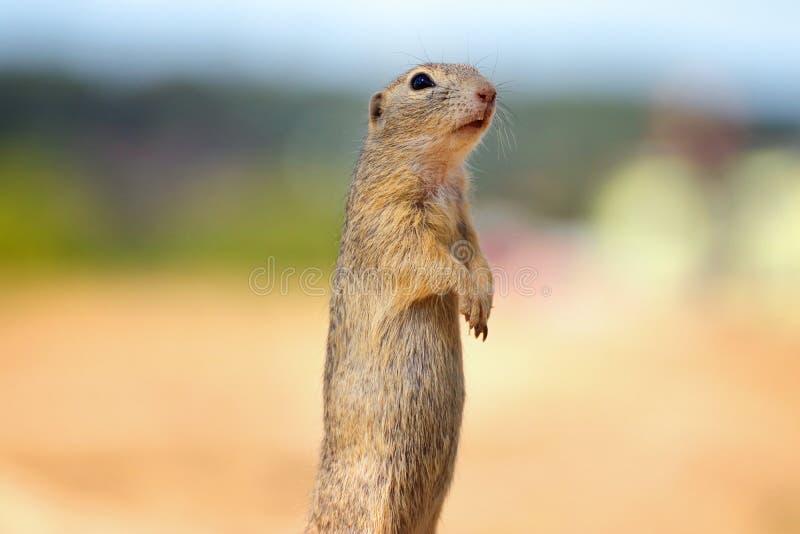 Il suslik dello scoiattolo è un membro della famiglia del citellus dello Spermophilus degli scoiattoli immagine stock libera da diritti