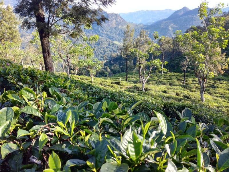 Il tè che pianta area nello Sri Lanka fotografie stock libere da diritti
