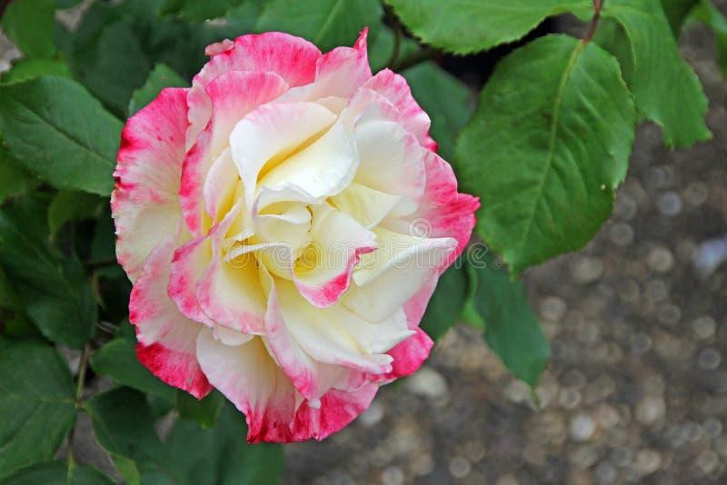 Il tè ibrido di delizia del doppio di Rosa è aumentato immagini stock