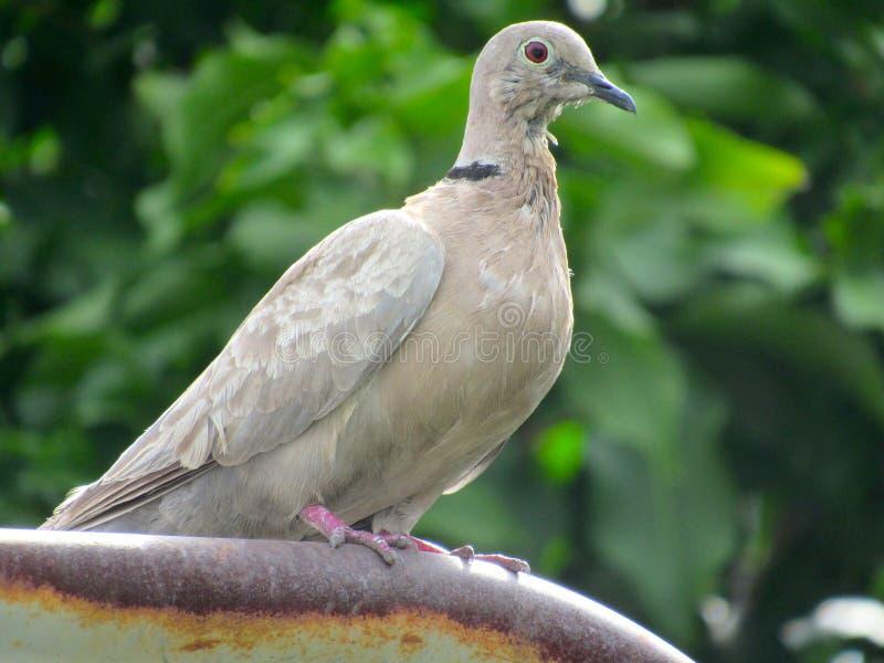 Il tabacco si è tuffato uccello appollaiato su un palo del metallo immagini stock